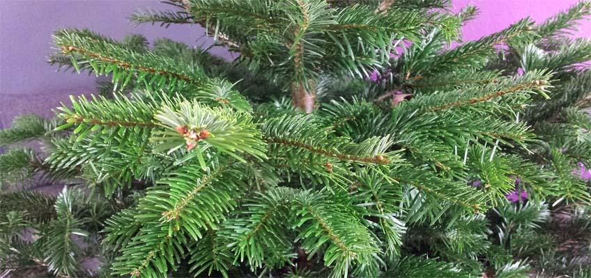 Premium Nordmanntanne Weihnachtsbaum