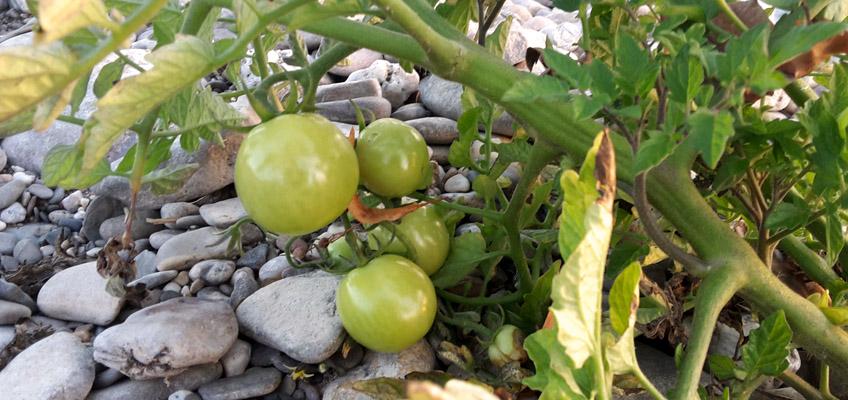 Tomaten am Rhein in Köln