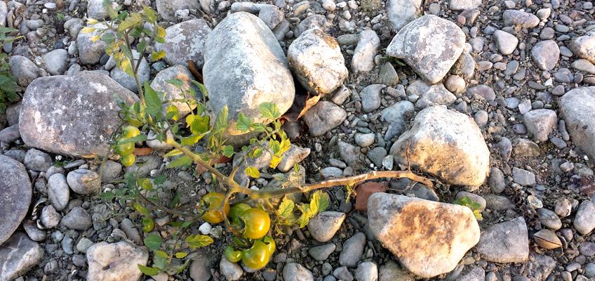 Tomatenpflanze am Rhein in Köln