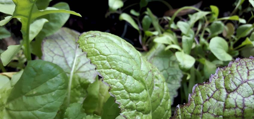 Rukola und Asia-Salat_grüneliebe