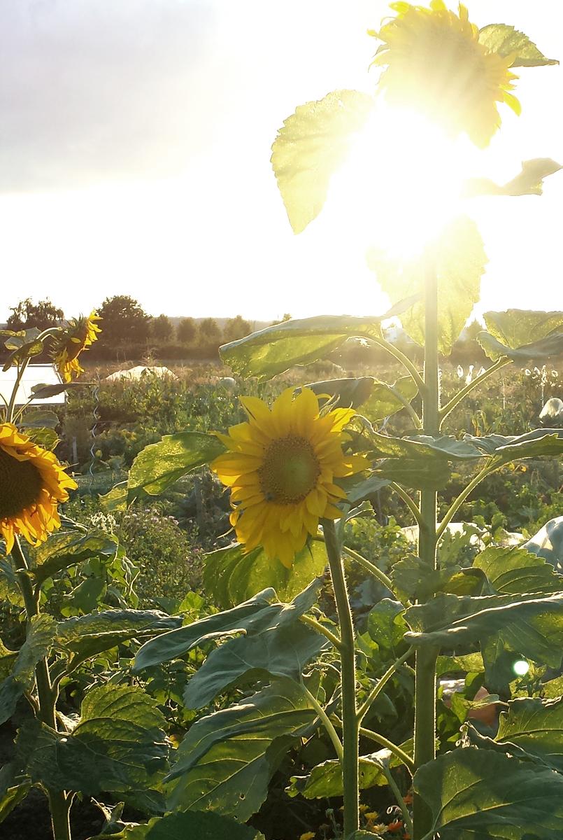 Die Wirkung der Sonne - Sonnenblumen