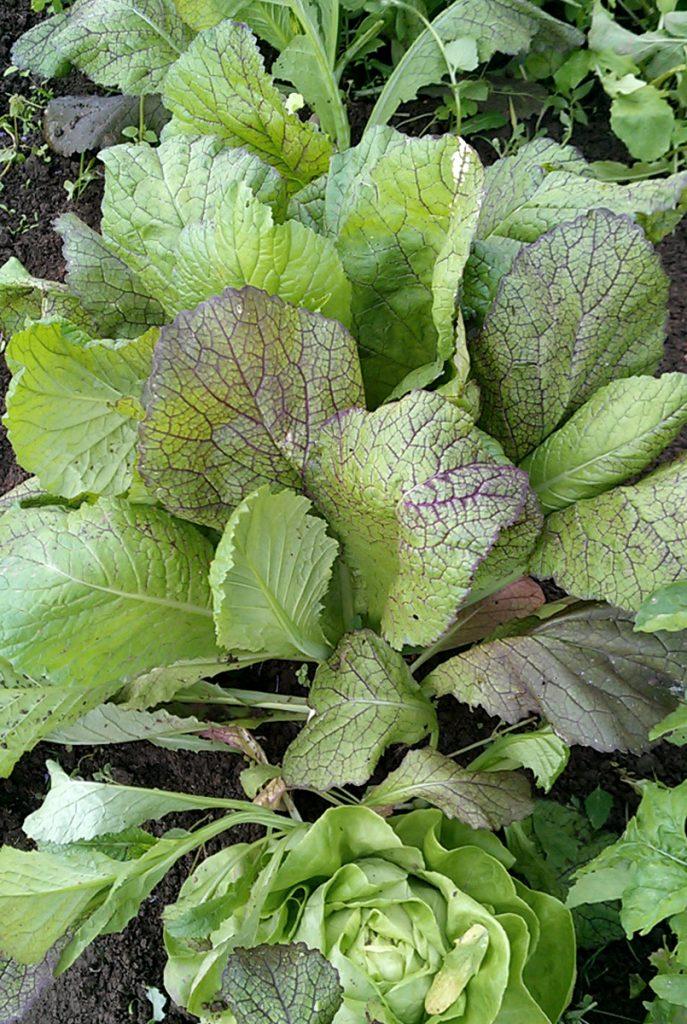 Pflücksalat - so bleibt Salat länger knackig