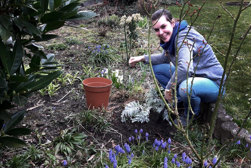 Artischocke pflanzen nach Überwinterung