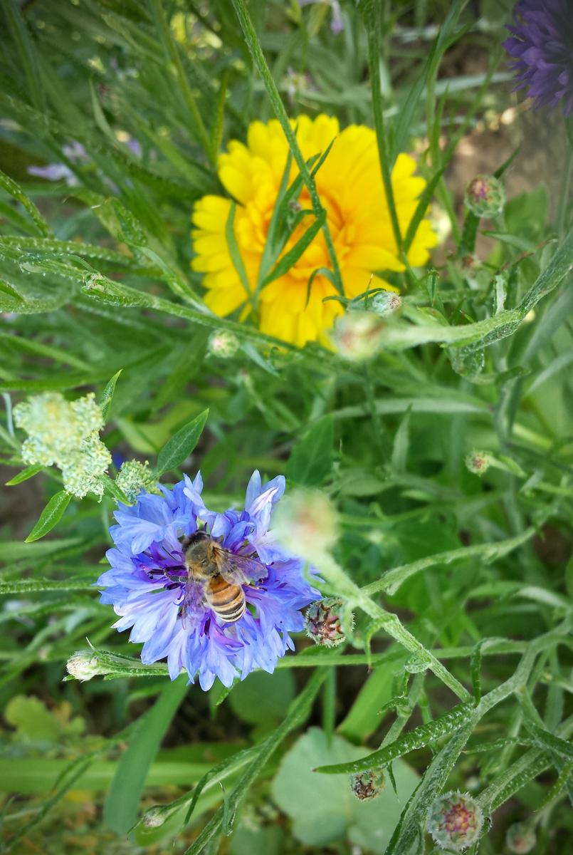 Bienenweide Blühfläche für Insekten
