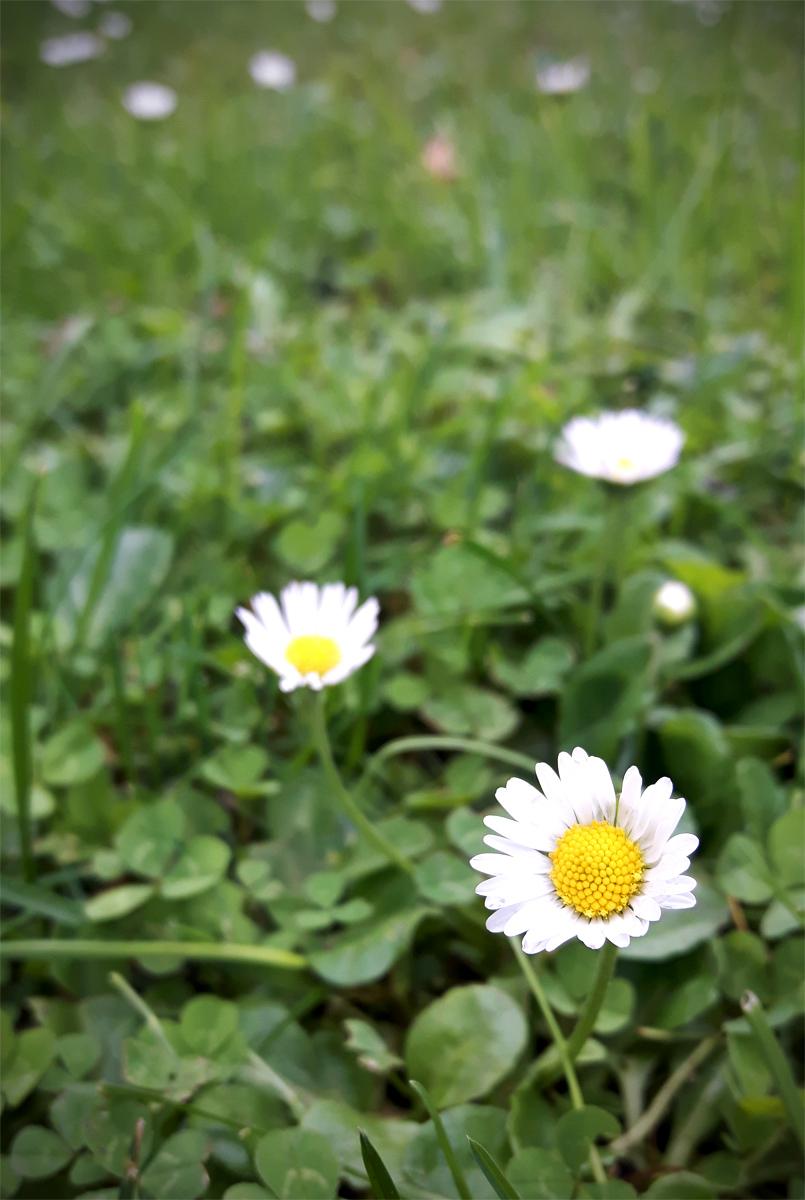 Indikatorpflanzen - Gänseblümchen