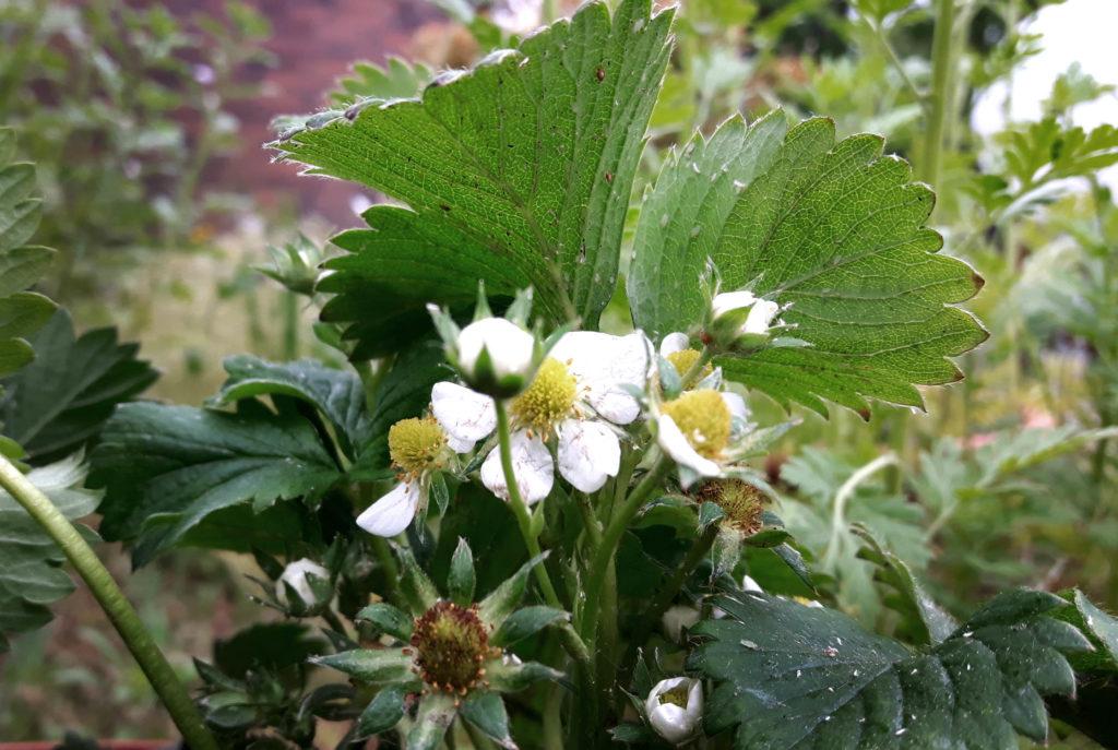 Beliebt Bevorzugt Erdbeeren und Blattläuse - eine unangenehme Kombination! - grüneliebe #CM_66