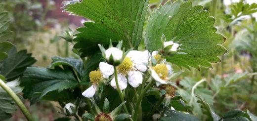 Erdbeeren und Blattläuse