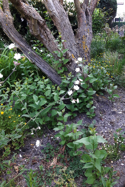 Ziergarten zum Nutzgarten - alter Flieder