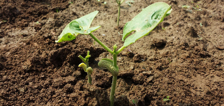 Bohnen Jungpflanze