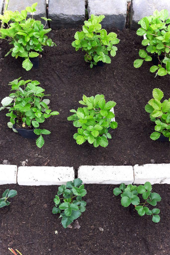 Erdbeerbeet - Erdbeeren pflanzen