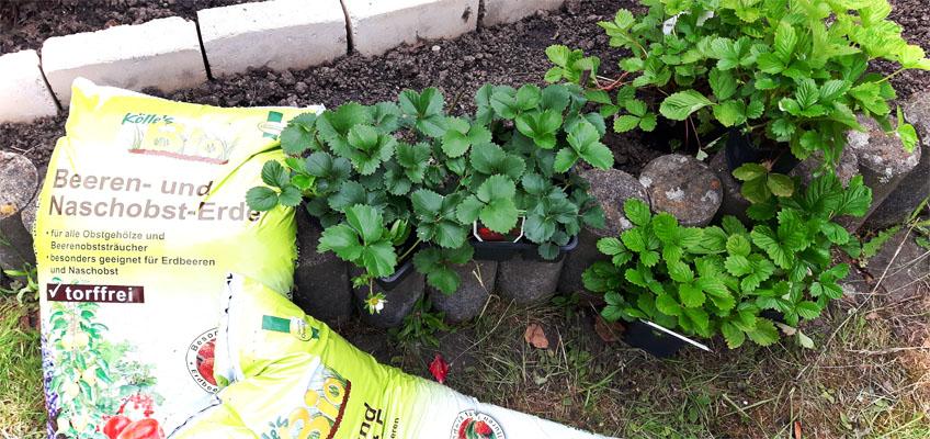 Erdbeerbeet anlegen - Erdbeeren pflanzen