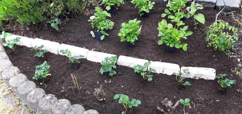 Erdbeeren pflanzen - Erdbeerbeet