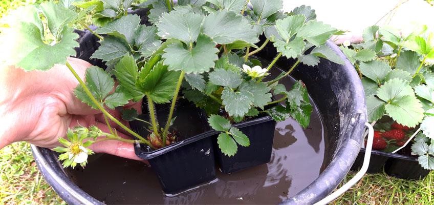 Erdbeerpflanzen Wurzelballen wässern