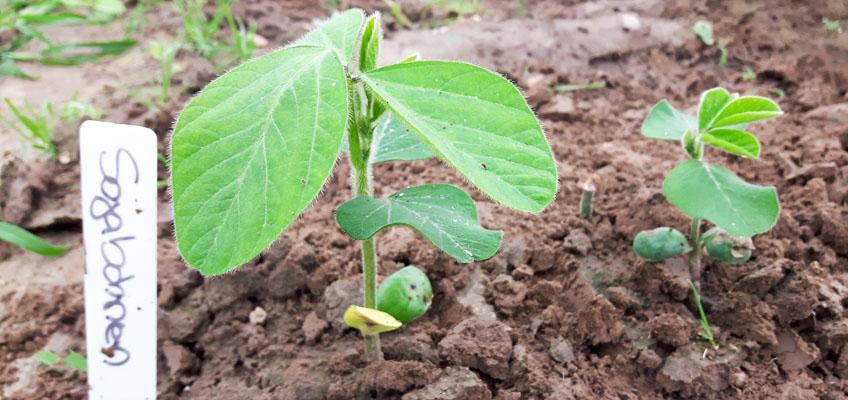 Sojabohnen im Gemüsegarten