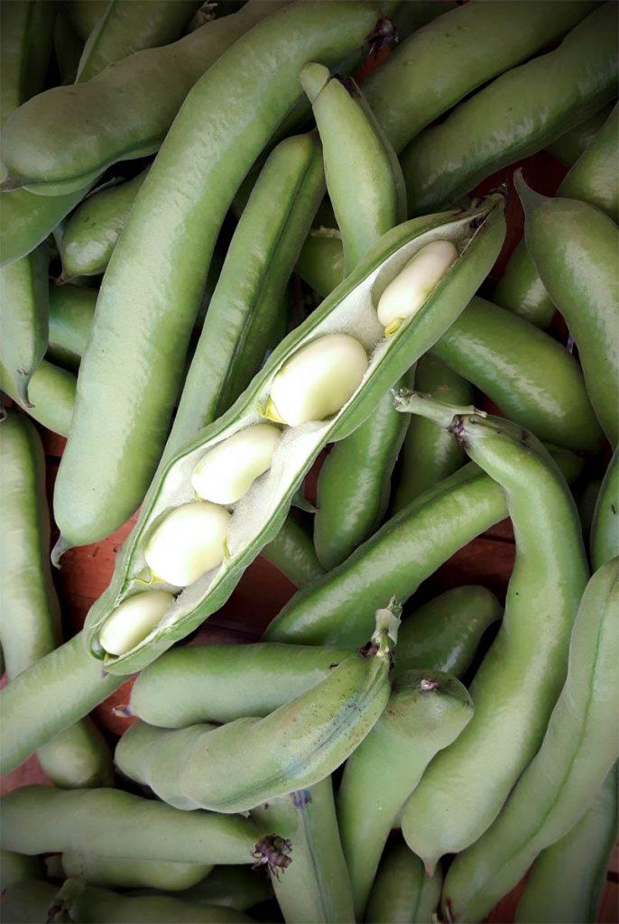 Dicke Bohnen aus dem Garten