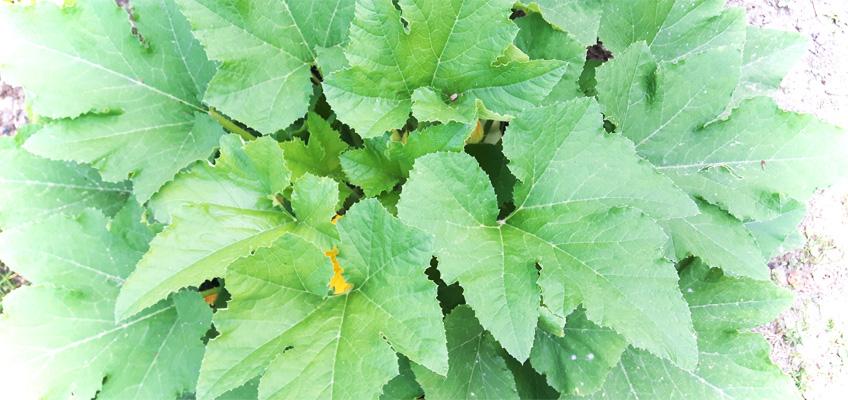Kompakter Wuchs Kürbis Patisson anbauen im Garten