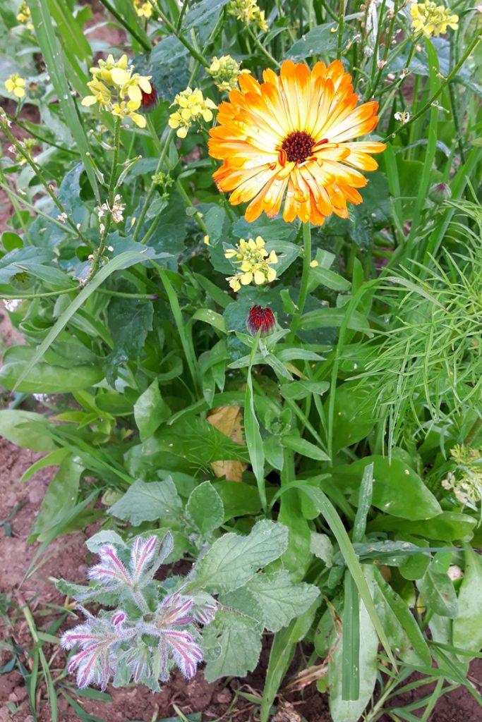 Seedballs Essbare Blüten