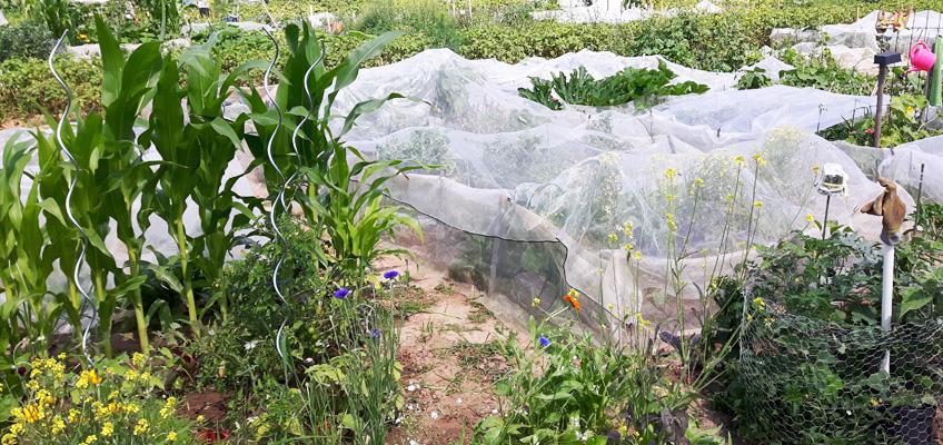 Sommer im Garten Gemüsegarten