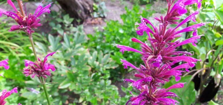 Anis-Ysop im Kräutergarten anbauen und pflanzen