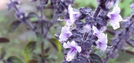 Blühender Basilikum - bienenfreundliche Kräuter