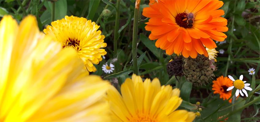 Blütenmeer mit Biene
