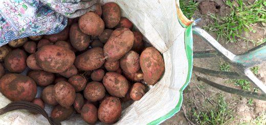 Kartoffelernte im August - rote Kartoffeln