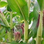 Die ersten Reihen lichten sich - Mais im Gemüsegarten
