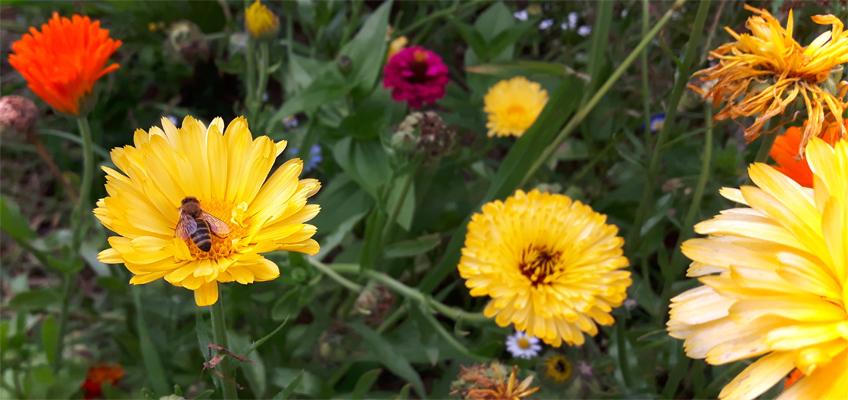 Seedballs Blütenmeer mit Biene