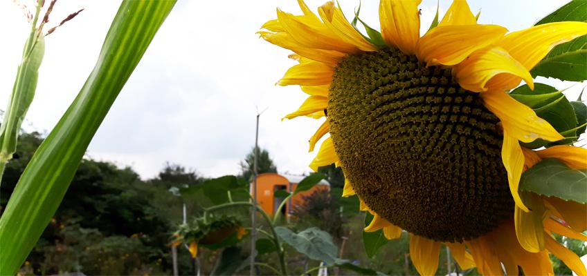 Zuckermais im Garten