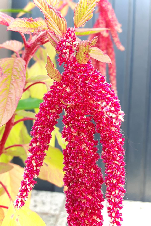 Amaranth Blüte