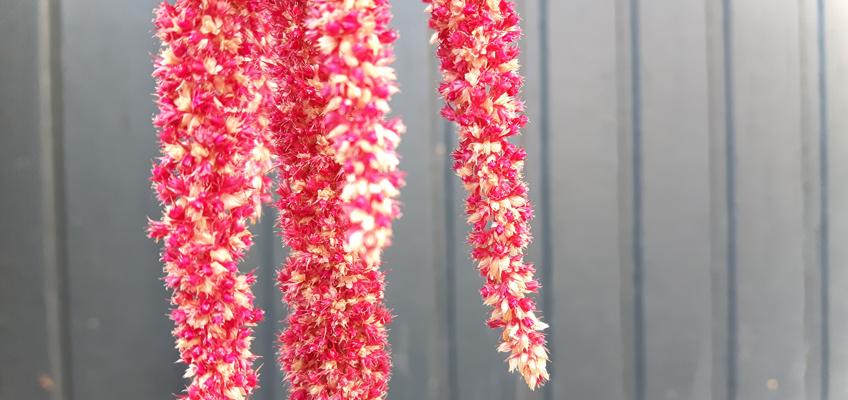 Amaranth ernten Pseudogetreide
