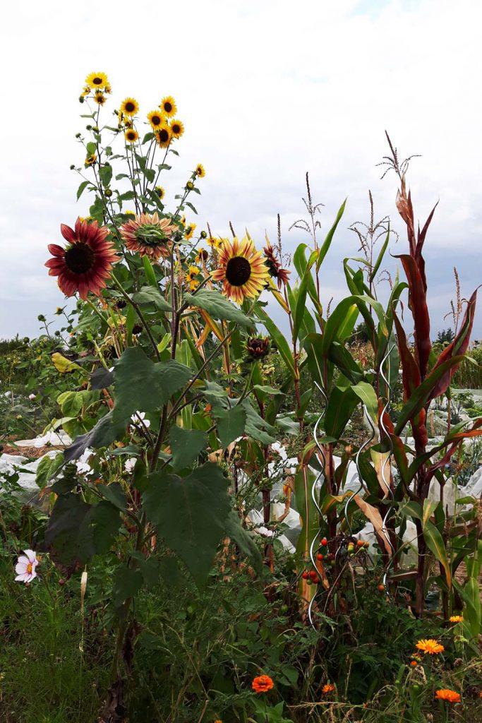 Herbstfarben riesige Sonnenblumen
