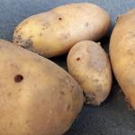 Löcher in Kartoffeln Drahtwürmer