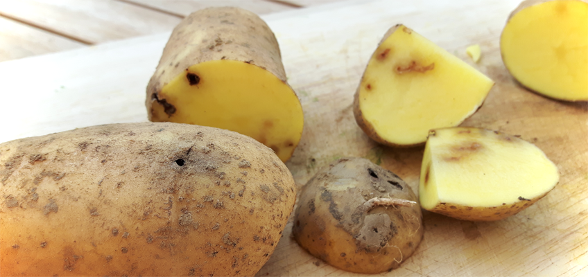 Löcher in Kartoffeln durch Drahtwürmer