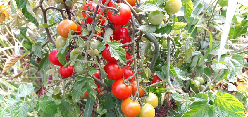 Reife Tomaten im Garten
