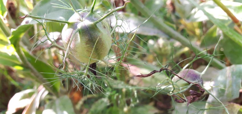 Samen ernten von Sommerblumen
