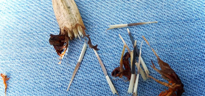 Samen von Tagetes