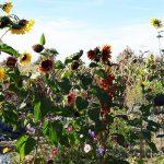 Sonnenblumen im Herbst Bienenmagnet