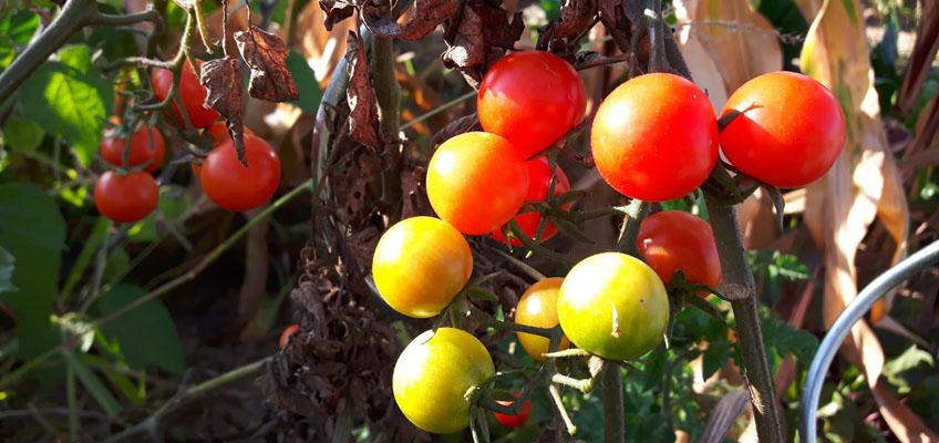 Tomaten werden reif