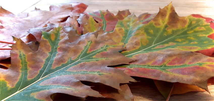 Herbstlaub zum Basteln