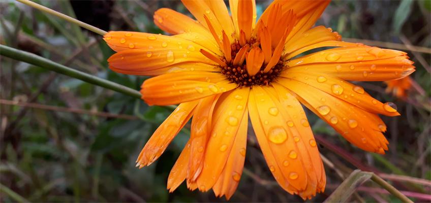 Regentropfen auf einer Blüte