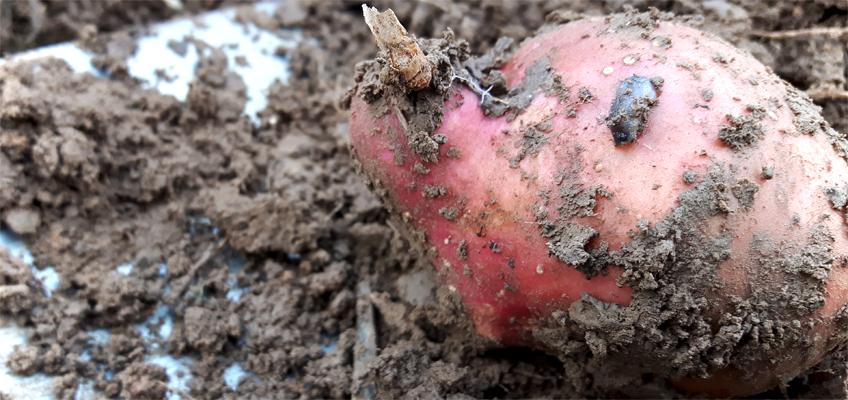 Schnecken in Kartoffeln