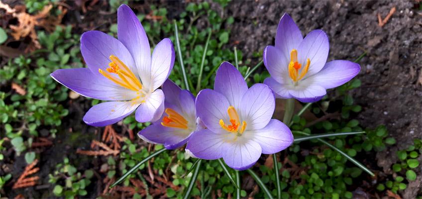 Krokus Frühlingsboten im Garten