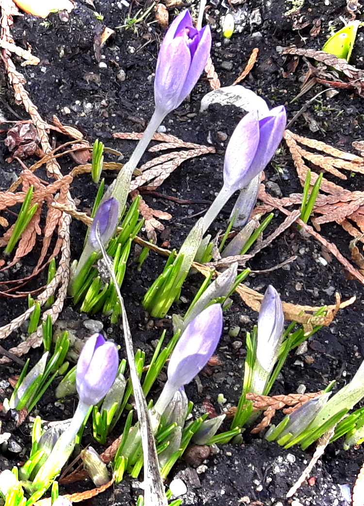 Krokusse Frühlingsboten im Garten