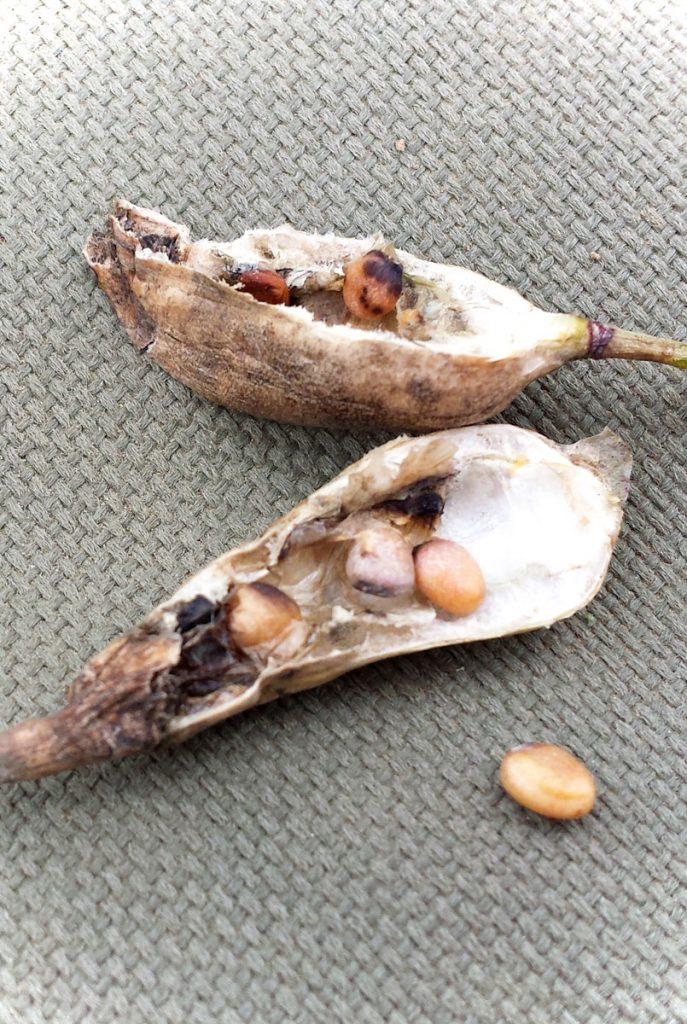 Radieschen Samen - Wie lange sind Gemüsesamen verwendbar