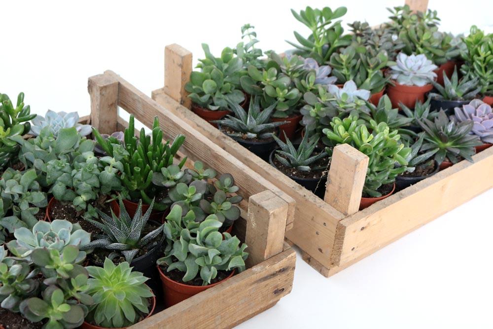 Sukkulenten als Zimmerpflanze