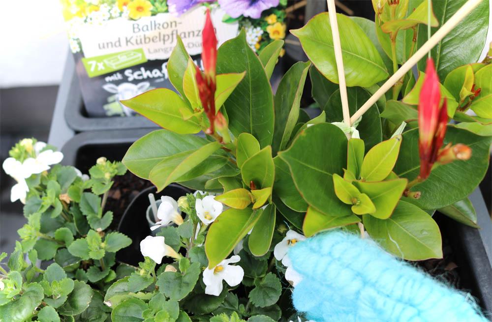 COMPO Bio Kübel- und Balkonpflanzendünger mit Schafwolle