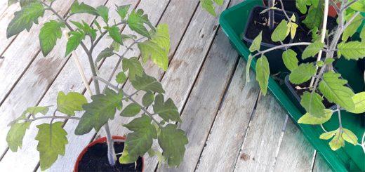 Wann kommen Tomaten ins Freie