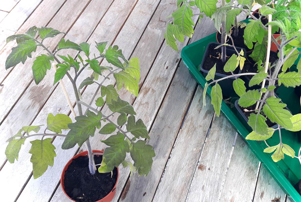 Tomaten ins Freie Jungpflanzen in den Gemüsegarten