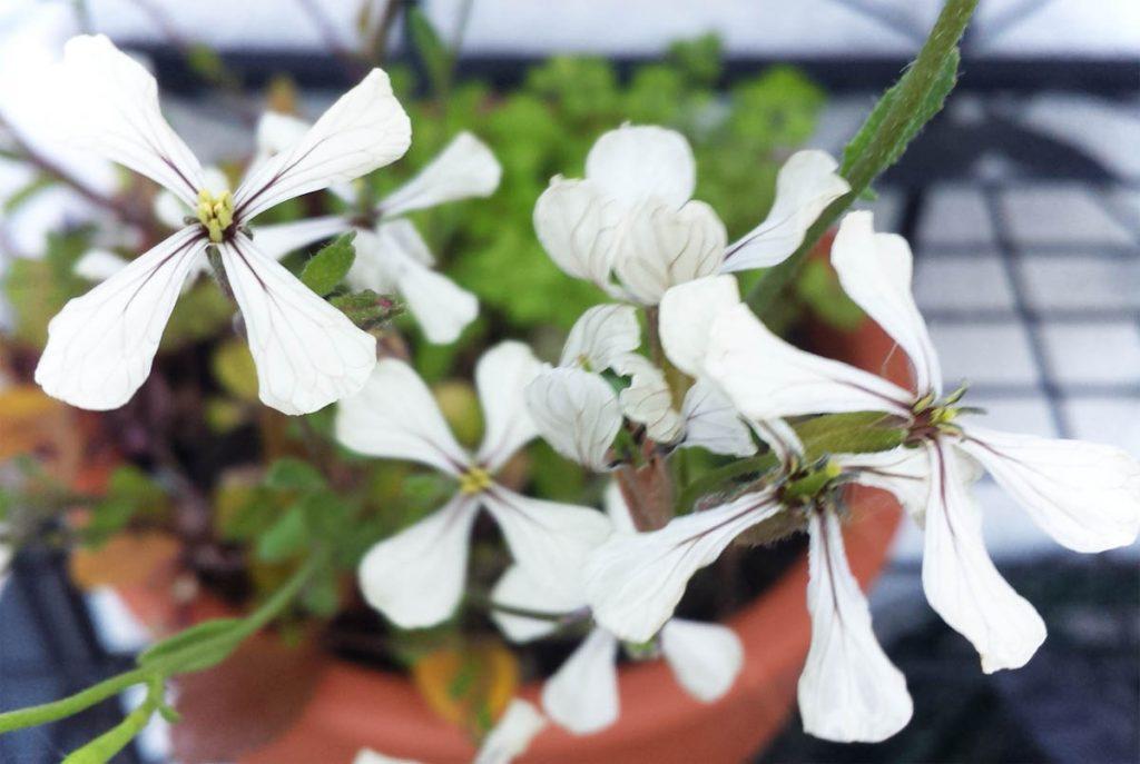 Rucola Essbare Blüten - blühender Rucola
